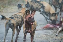 DT-152 (Photography by Brian Lauer) Tags: botswana africa safari safaris wildlife travel nikonphotography nikon lion elephant hippo fisheagle saddlebilledstork piedkingfisher lilacbreastedroller wilddog