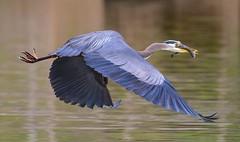 "GBH the get away  ""4 of 4 "" (Robert Ron Grove 2) Tags: robertgrove blue heron great flight fish wildlife"