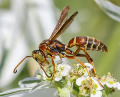 Paper Wasp gathering pollen (tresed47) Tags: 2016 201608aug 20160820springtonmacro canon7d chestercounty content folder insects macro paperwasp pennsylvania peterscamera petersphotos places springtonmanor takenby technical us wasp