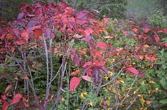 (t_mimizuk) Tags: film contax tvs autumn leaves nature red kouyou shirane gunma japan