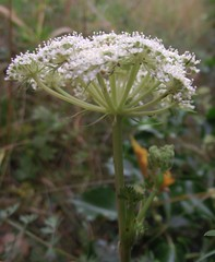 Seseli libanotis (Moon Carrot) flowers & bracts 1, Cherry Hinton Chalk Pits, Cambs, 21.8.16 (respect_all_plants) Tags: mooncarrot seselilibanotis cherryhinton chalkpits cambridge cambs cambridgeshire wildflowers
