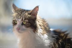 Italy earthquake: We are always behind you. from Japan. (miyukiz4 su ood) Tags: cats cat kitten  gttino chaton gatito ktzchen gatinho