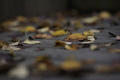 Fallen leaves (joka2000) Tags: leaf autmn