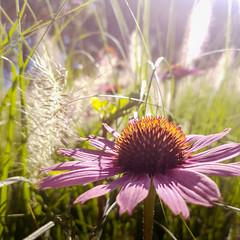 Into the Wild... (Sylvie.) Tags: antwerpen vlaanderen belgi be brilschrans parc flowers sylviepeeters samsung galaxy s7