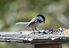 Chickadee (careth@2012) Tags: chickadee bird nature wildlife