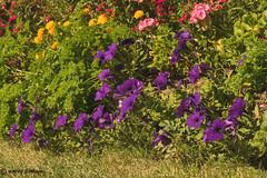 #51 - Purple Patch (Keeperofthezoo) Tags: 116picturesin2016 purplepetunias flowers garden purple purplepatch