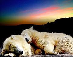 Good Night -Sweet Dreams (caren (Thanks for 1 Million+ views)) Tags: sun sunlight sunset sky clouds cute polarbeartwinsnelanobby magicmoments zoo deutschland tierparkhellabrunnmunich flickr dreams night