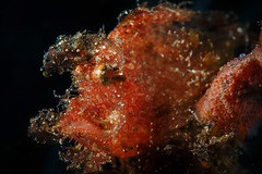 Juvenile Weedy Rhinopias (Luko GR) Tags: indonesia bali padang bai diving underwater macro critters muck weedyrhinopias rhinopiasfrondosa scorpionfish orange backlight blackbackground fish portrait juvenile