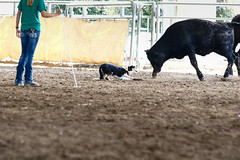 Iowa State Fair 2016 (Crawford Canines) Tags: stockdog herding bordercollie sheep cows cattle ewe