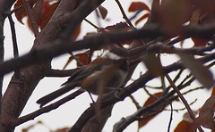 Rain 20141020 (caligula1995) Tags: 2014 chickadee plumtree