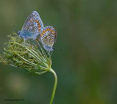 Bleu commun d'Europe  Common Blue (anjoudiscus) Tags: roseange d800 micronikkor105mm bleucommundeurope commonblue polyommatusicarus lepidoptera lpidoptre papillon butterfly bleu blue nature amour love boulgouin montral qubec canada aot 2016