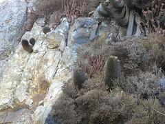 Neochilenia chilensis albidiflora RB2010 (Robby's Sukkulentenseite) Tags: albidiflora cacti cactus chile chilensis coquimbo eriosyce ka3387s kakteen kaktus neoporteria pichidangui rb2010 reise standort