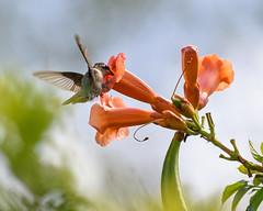 Ruby-throated Hummingbird (malarchie) Tags: archilochuscolubris rubythroatedhummingbird libertystatepark jerseycity trumpetvine campsisradicans