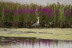Grey Heron (jlaw19uk) Tags: bird feather colour sigma canon 150600c contemporary rspb wildlife