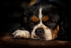 Grumpy pet portrait (mikejones7734) Tags: kingcharlescavalierspaniel dog pet portrait petportrait moody grumpy tired pensive naturallight