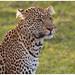Leopard - Luipaard (Panthera pardus)
