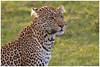 Leopard - Luipaard (Panthera pardus) (Martha de Jong-Lantink) Tags: 2011 janvermeer kenia kenya leopard luipaard maasaimara pantherapardus safari