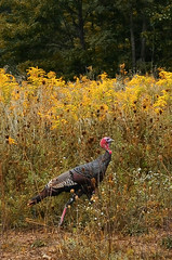 Wild Turkey 101 (Thomas Dwyer) Tags: wild turkey bird animal shanksville pennsylvania nature nikon coolpixa thomasdwyer fall thanksgiving