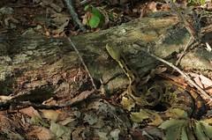 Timber Rattlesnake - Crotalus horridus (L.D Alsbach) Tags: timber rattlesnake crotalus horridus ohio reptile