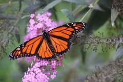 99/365/3021 (September 18, 2016) - Monarch Butterfly (Saline, Michigan) - September 18, 2016 (cseeman) Tags: monarchbutterfly butterfly butterflybush saline michigan gardens bush purple orange monarch garden monarch09182016 2016project365coreys yearnineproject365coreys project365 p365cs092016 356project2016