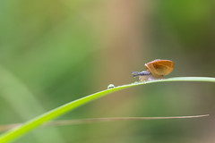 Water please.. (Just_hobby) Tags: snail droplet macro nature outdoor extensiontube sel50f18 sony a6000 grass animalplanet