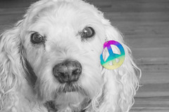 Lets have peace (aivzdogz) Tags: dogs dog pets animals bichon frise cocker spaniel mix mutt peace love black white bw