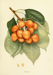 n270_w1150 (BioDivLibrary) Tags: fruitculture newyorkstate prunuscerasus rosaceae newyorkbotanicalgardenluesthertmertzlibrary bhl:page=15336043 dc:identifier=httpbiodiversitylibraryorgpage15336043