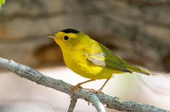 Wilson's (Ed Sivon) Tags: american america canon nature wildlife wild western southwest sun color bird warbler yellow nevada nevadadesert national