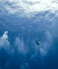 trtlrising0805ws (gerb) Tags: blue topv111 1025fav 510fav wow topv555 topv333 underwater turtle scuba pi cozumel tvp aquatica d7000 sigma1017fe