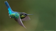 Fiery-throated Hummingbird in Flight (Raymond J Barlow) Tags: blue red green nature costarica hummingbird wildlife workshops 200400vr nikond300 raymondbarlowtours