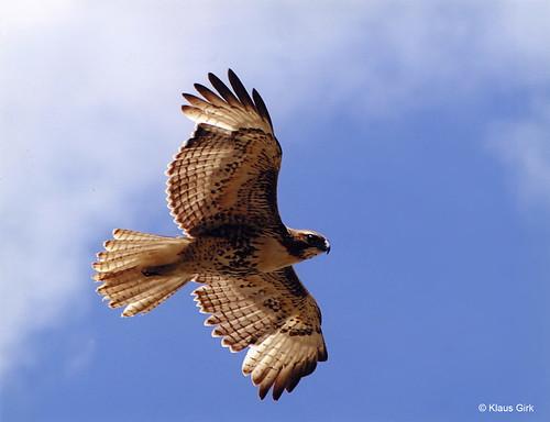 Photo - Immature Hawk