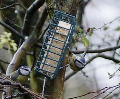 Blue Tits Feeding (Rovers number 9) Tags: england tree birds december minolta bokeh sony lancashire 2012 a65 minoltaaf100200f45 bkhq dec2012 sonya65