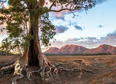 Cazneaux Tree, Flinders Ranges South Australia (Jacqui Barker) Tags: ranges oldtree southaustralia flinders flindersranges gnarlytree cazneauxtree uploaded:by=flickrmobile flickriosapp:filter=nofilter abcopen:project=yourbest