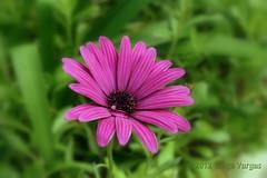 Feliz Natal!... Merry Christmas! ( Graa Vargas ) Tags: flower purple graavargas osteospermumecklonis southafricandaisy margaridadocabo 2012graavargasallrightsreserved