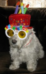 """Birthday Boy"" (ellenc995) Tags: birthday christmas friends hat riley glasses westie westhighlandwhiteterrier ruby2 coth december25th abigfave pet100 rubyphotographer 100commentgroup yearofholidays coth5 ruby10 ruby5 thesunshinegroup"