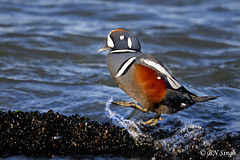 Harlequin Duck (BN Singh) Tags: light sea wild playing bird nature water walking duck walk jetty nj barnegat harlequin