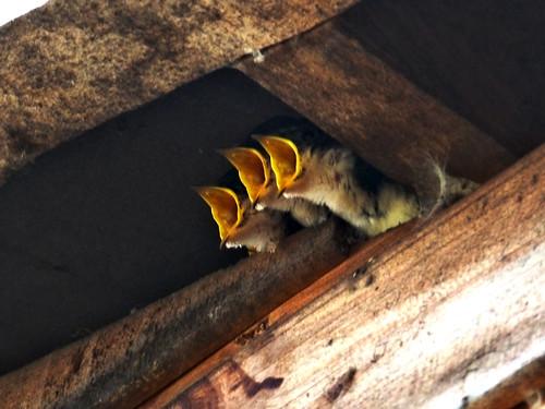 Polluelos golondrina