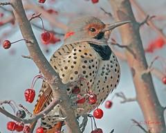 304 northern flicker (starc283) Tags: bird nature canon wildlife ngc birding npc flicker northernflicker