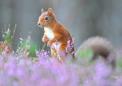 Red Squirrel  Red Squirrel (Sciurus vulgaris)   (Explore 2nd Jan # 481) (Col-page) Tags: ngc