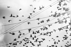 In the midst of the flurry... (RiaPereira - here and there) Tags: birds chaos flock flight fluttering starlings flockofbirds hitchcockmoment riapereira calminchaos thebirdsmbirdroadmiami thebirdisjustdoinghisownthing