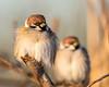 Tree Sparrow(s) (mnielsen9000) Tags: treesparrow passermontanus d600 mygearandme mygearandmepremium mygearandmebronze mygearandmesilver mygearandmegold mygearandmeplatinum mygearandmediamond