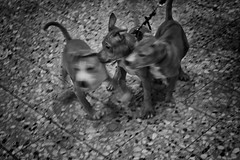 The Puppies (oncle-bob) Tags: mall göteborg puppies mischief whelps