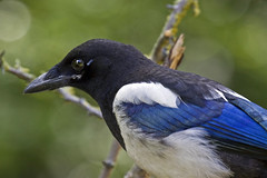 Magpie (arthurpolly) Tags: colour bird nature birds closeup canon eos elements avian northwales naturesfinest blueribbonwinner 70200is 50d 5photosaday beautifulphoto abigfave platinumphoto anawesomeshot avianexcellence diamondclassphotographer flickrdiamond brillianteyejewel unforgettablepictures goldwildlife goldstaraward natureselegantshots rubyphotographer goldenheartaward dragondaggerphoto dragondaggeraward dragondaggerawards birdperfect