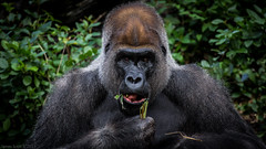 2013-01-06 Disney's Animal Kingdom 302 (James Scott S) Tags: portrait usa animal canon scott eos james is gorilla florida eating wildlife united l fl states usm dslr ef 70300 f456 lr4 60d