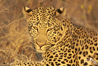 The Leopard with a great Golden light