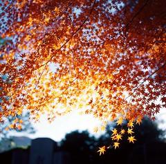 Infinite Splendidness (sunnywinds*) Tags: light color 120 6x6 film leaves sunshine japan square star golden maple kyoto dof kodak foliage hasselblad momiji   shining mapple e100vs brilliant      503cxi  gtx970 planart2880cf makeanalogue