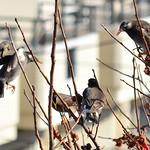 ムクドリ (Grey Starling) thumbnail