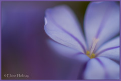 softly-softly (loobyloo55) Tags: flower macro nature canon flora focus purple bokeh manual plumbago floraandfauna extensiontubes 50mmlens canoneos7d