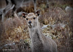 Red Deer Hind - Scottish Highlands (Ally.Kemp) Tags: red wild female scotland highlands scottish deer hind hinds