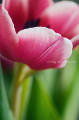 Forever (dhmig) Tags: pink flowers light italy stilllife milan flower macro nature colors beauty closeup petals spring nikon dof tulips bright secret details softness happiness naturallight indoor center tulip bloom opening springtime lookinside vibrantcolors 50mmf28 fragility nikond7000 dhmig dhmigphotography